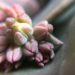 花芽が出てきた多肉☆花は咲かせる?どうする?