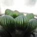 キャンドゥにあのオブツーサがぁっ⁈(゚д゚)!☆ハオルチアの葉挿しのコツも紹介します!