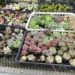 茨城多肉狩り遠征・水戸の農ランドは多肉の巨大生産施設だっ☆エケベリア編