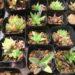 茨城多肉狩り遠征・サボテン園芸湯原には珍しい多肉がたくさん‼