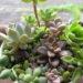 セリアの白いブリキ鉢に♪もりもり寄せ植え( *´艸`)