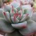セダム30種類を一つの鉢に植えてみた・・・その後と桃太郎の惨状(ノД`)・゜・。